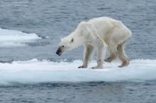 สุดช็อก!! สภาพหมีขั้วโลกเหนือผอมเห็นแต่กระดูก!!