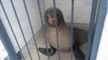 กู้ภัยแดนจิงโจ้ตกใจ!! เมื่อเจอแมวน้ำงีบในห้องน้ำหญิง