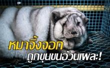 เผยภาพน่าตกใจ! หมาจิ้งจอกโดนขุนจนอ้วนเผละผิดธรรมชาติ ก่อนเชือดเอาขนทำเสื้อผ้า!