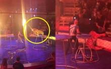 สะเทือนใจ!! เสือโชว์กระโดดลอดห่วงไฟก่อนน็อคหมดสติ ชักเกร็งคาเวทีละครสัตว์!! (มีคลิป)