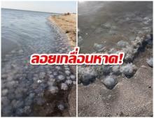 ลอยเกลื่อนหาด! แมงกะพรุนตายนับพัน นักท่องเที่ยวไม่กล้าลงทะเล