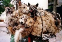 ไม่แยแสเสียงค้านจากคนรักสัตว์ จีนเดินหน้าจัดเทศกาลกินเนื้อสุนัข คาดโดนฆ่านับหมื่นตัว