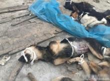 สุดช็อก!! ภาพน่าเวทนาหลังมหาลัยการแพทย์จีนขังหมาไว้ทดลองแบบนี้
