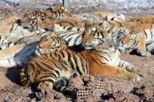 สยอง!! เสือ จู่โจมขย้ำ สาวจีน ดับในสวนสัตว์ซาฟารี