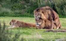 โลกนี้ช่างอยู่ยากขึ้นทุกวัน!!! ตะลึงภาพสิงโตหนุ่มหันจู๋จี๋กันเอง มองข้ามตัวเมียนอนอยู่ข้างๆ